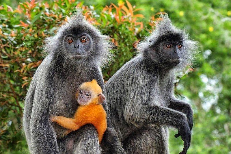 I Primati che vivono nelle foreste del Sud Est Asiatico