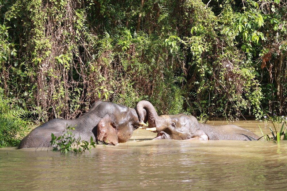 elefanti pigmei che giocano sul fiume kinabatangan