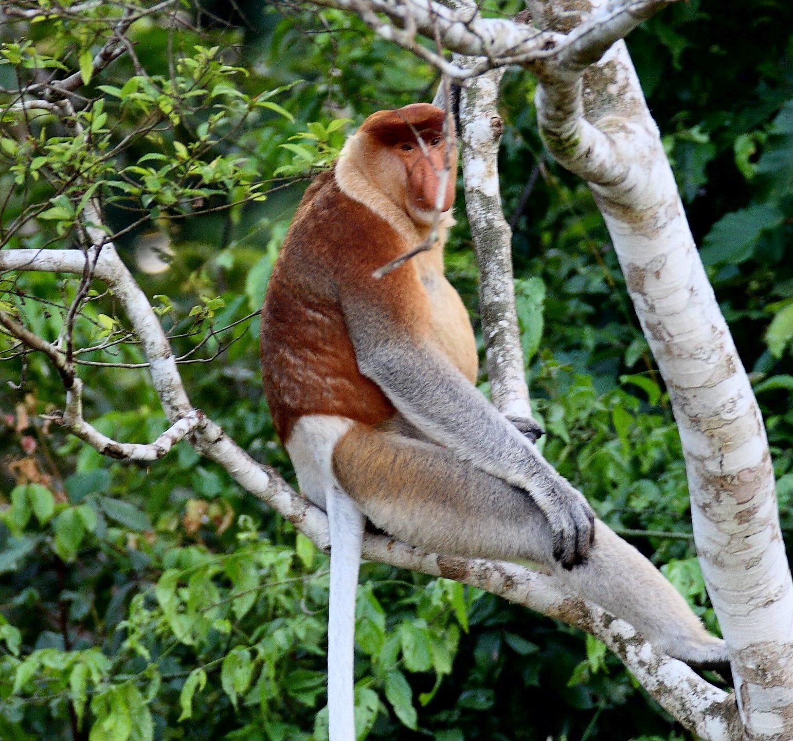maschio di scimmia nasica su un albero in Malesia