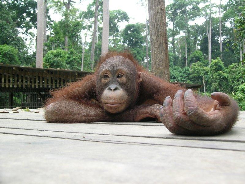 Orango presso il centro di Sepilok in Sabah, Malesia