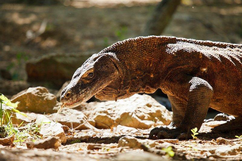 Un drago nel parco di Komodo in Indonesia