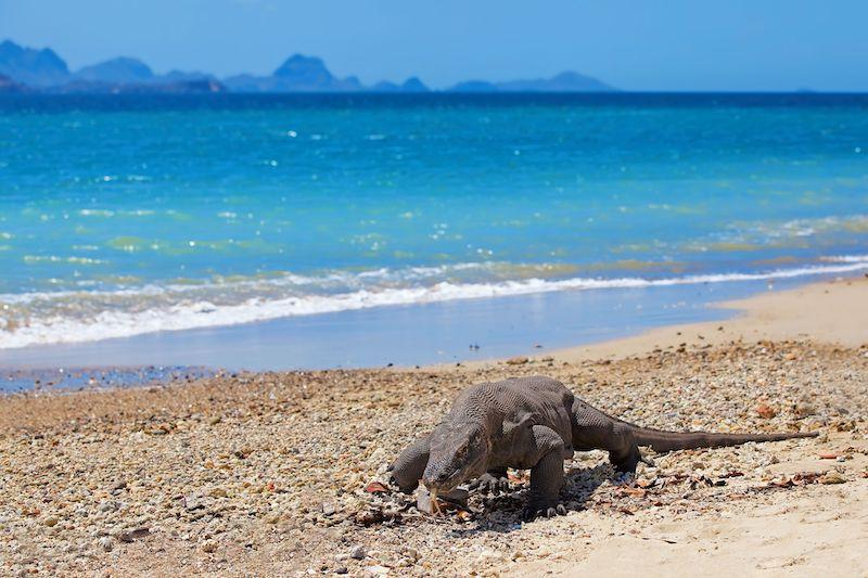 Un Drago che cammina sulla spiaggia di Komodo