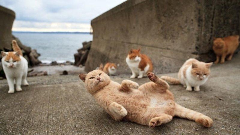 I gatti sull'isola di Tashirojima in Giappone