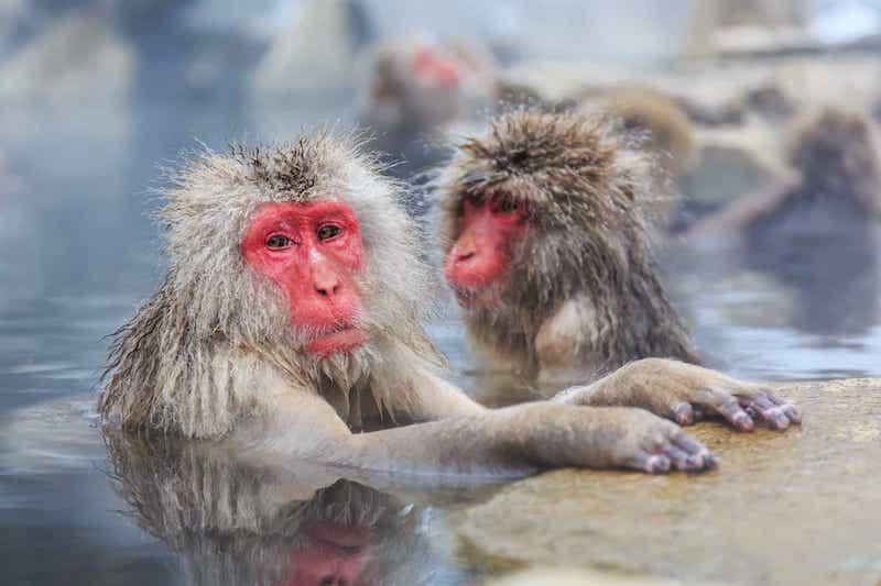 Le scimmie della neve alle terme in Giappone