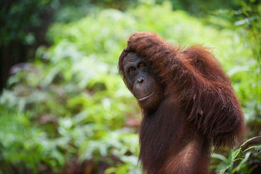 Orangutan Kinabatangan River