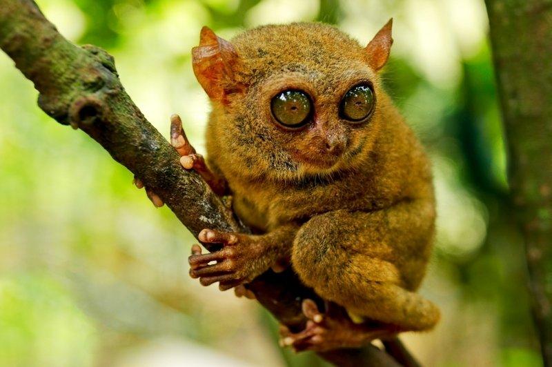 Tarsio Spettro nel santuario naturale di Bohol Filippine