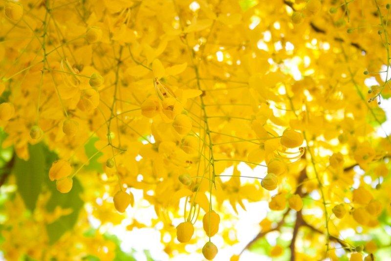 Cassia Fistula fiori asia