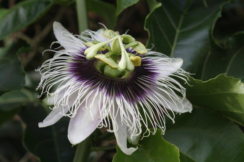 Passiflora fiori in asia