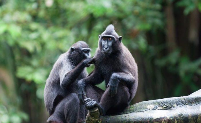 Sulawesi-Riserva-Naturale-Tangkoko-Macaca-Nera
