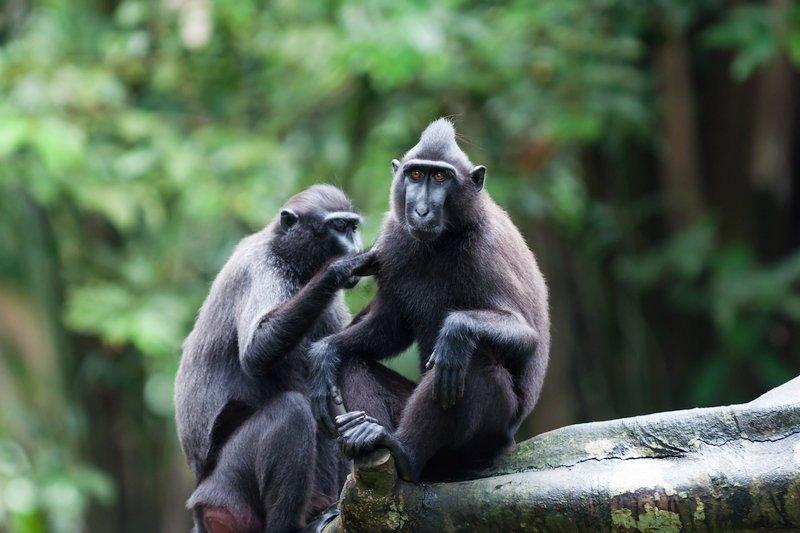 Scimmie Macache Nigre nella riserva naturale del Tangkoko nelle Sulawesi, Indonesia