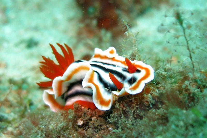 Nudibranch sui fondali di Puerto Galera nelle Filippine