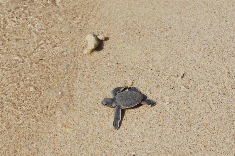 Selingan, l'isola delle tartarughe in Borneo