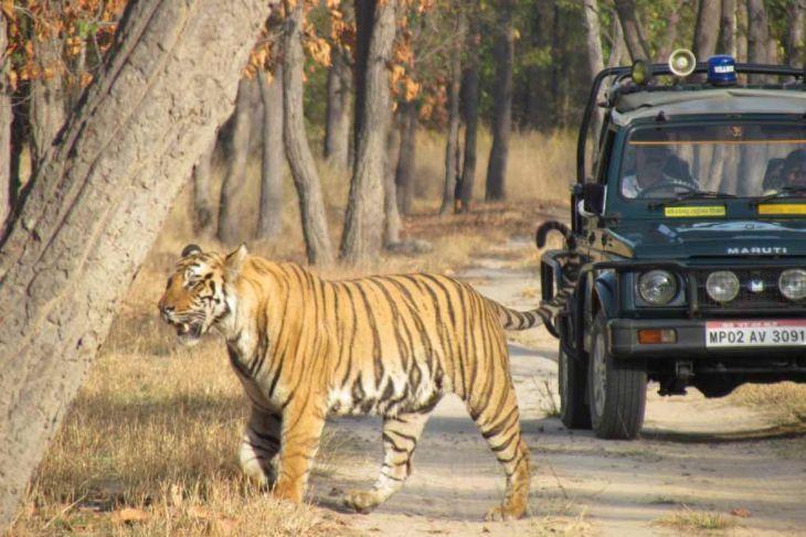 Safari per avvistare la tigre nelParco Nazionale di Bandhavgarh