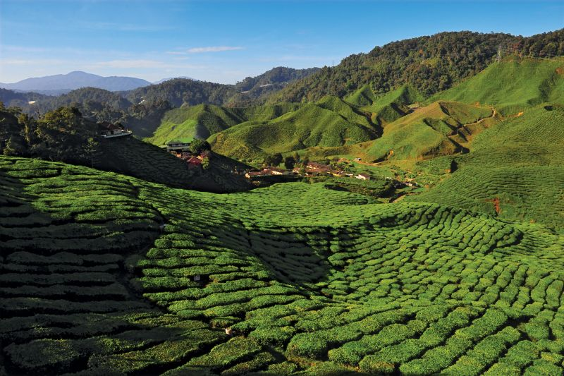 Panoramica delle piantagioni di tè a Cameron Highlands