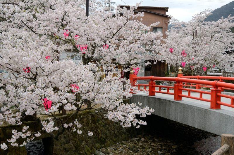 Spettacolo delle fioriture degli alberi di Ciliegio in Giappone
