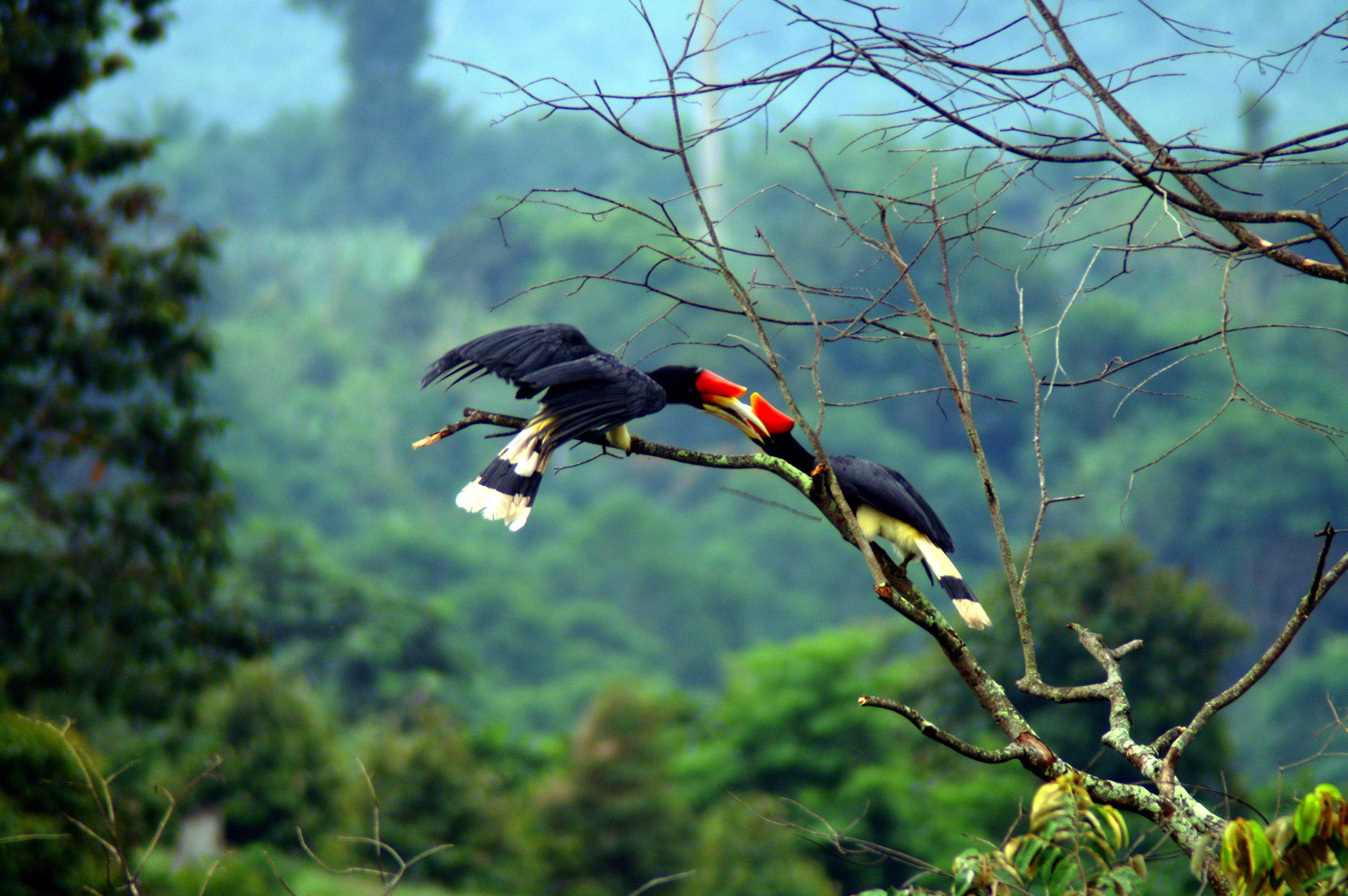 Buceri nella foresta fluviale della Riserva di Tabin in Borneo