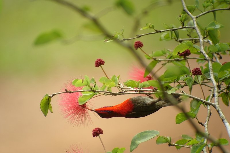 Un colibrì nella foresta di Tabin