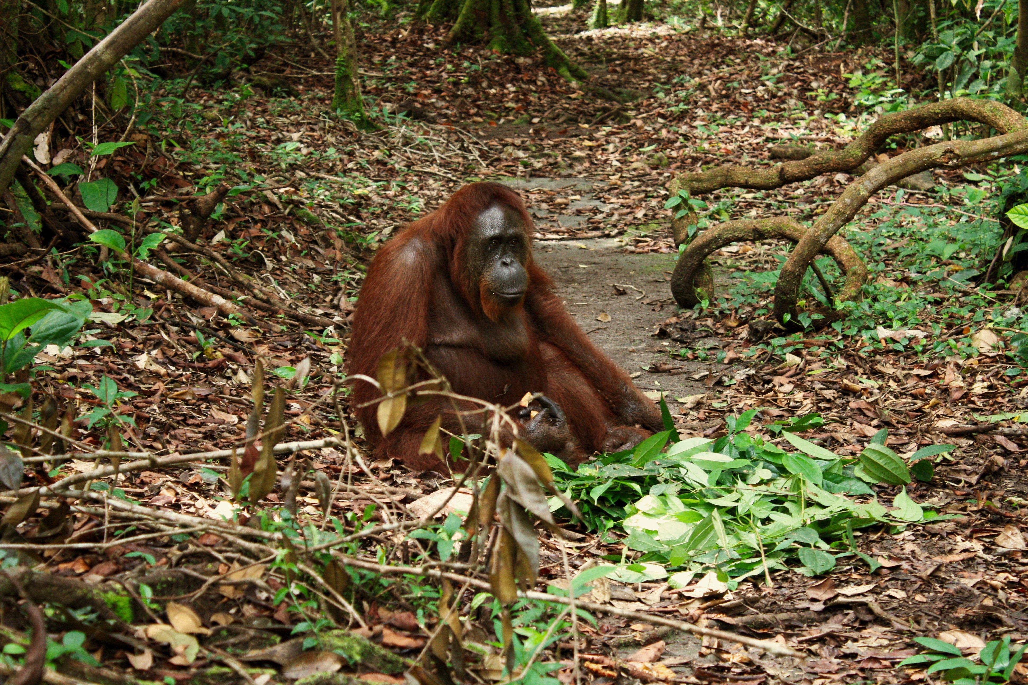 Orango nella foresta del Parco Tanjung Puting