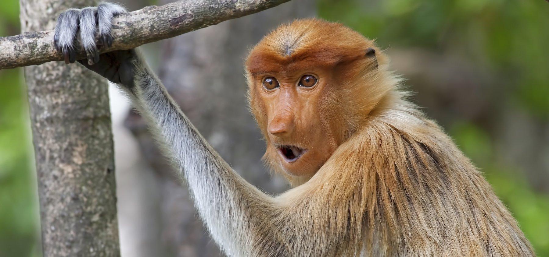 Scimmia nasica del Borneo
