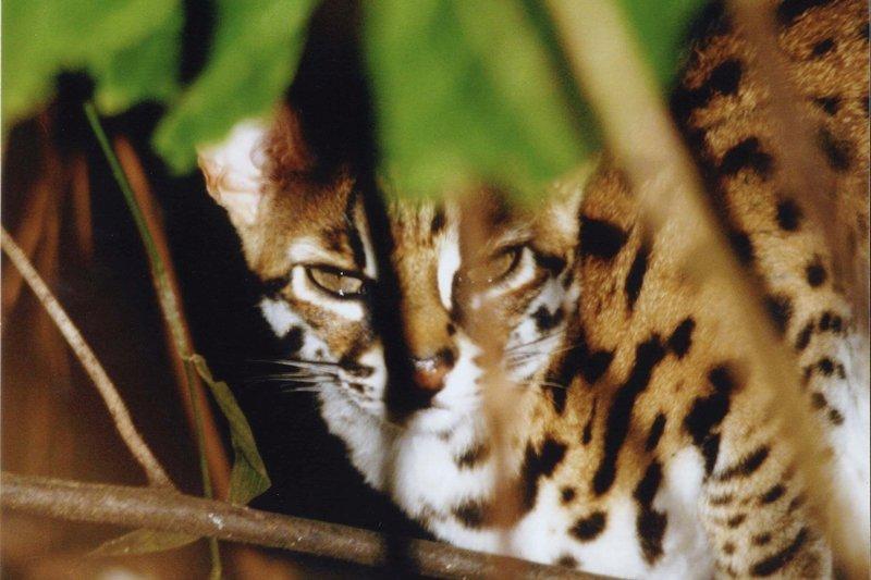Gatto selvatico avvistato durante safari notturno a Tabin Wildlife Reserve