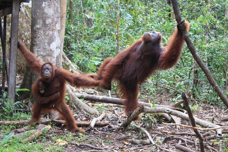 Coppia di oranghi che si tengono per mano al Tanjung Puting