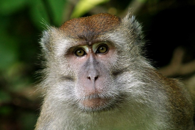 Scimmia Macaco in Borneo, Malesia