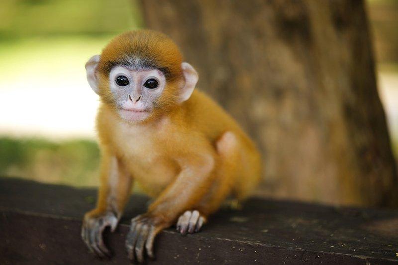 Piccola scimmia Langur a Sepilok in Sabah, Borneo