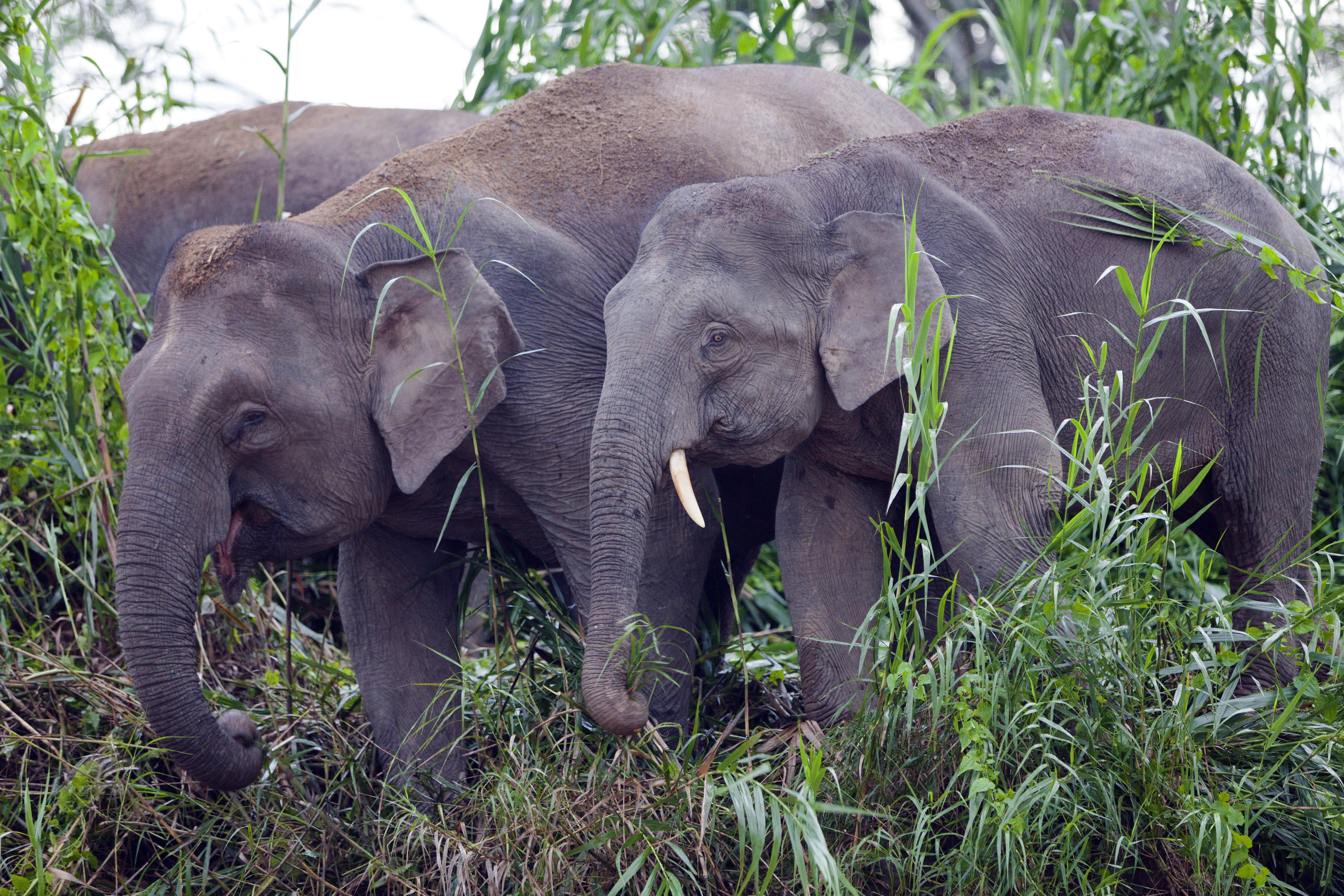 Elefanti sul fiume Kinabatangan, Sabah Malesia