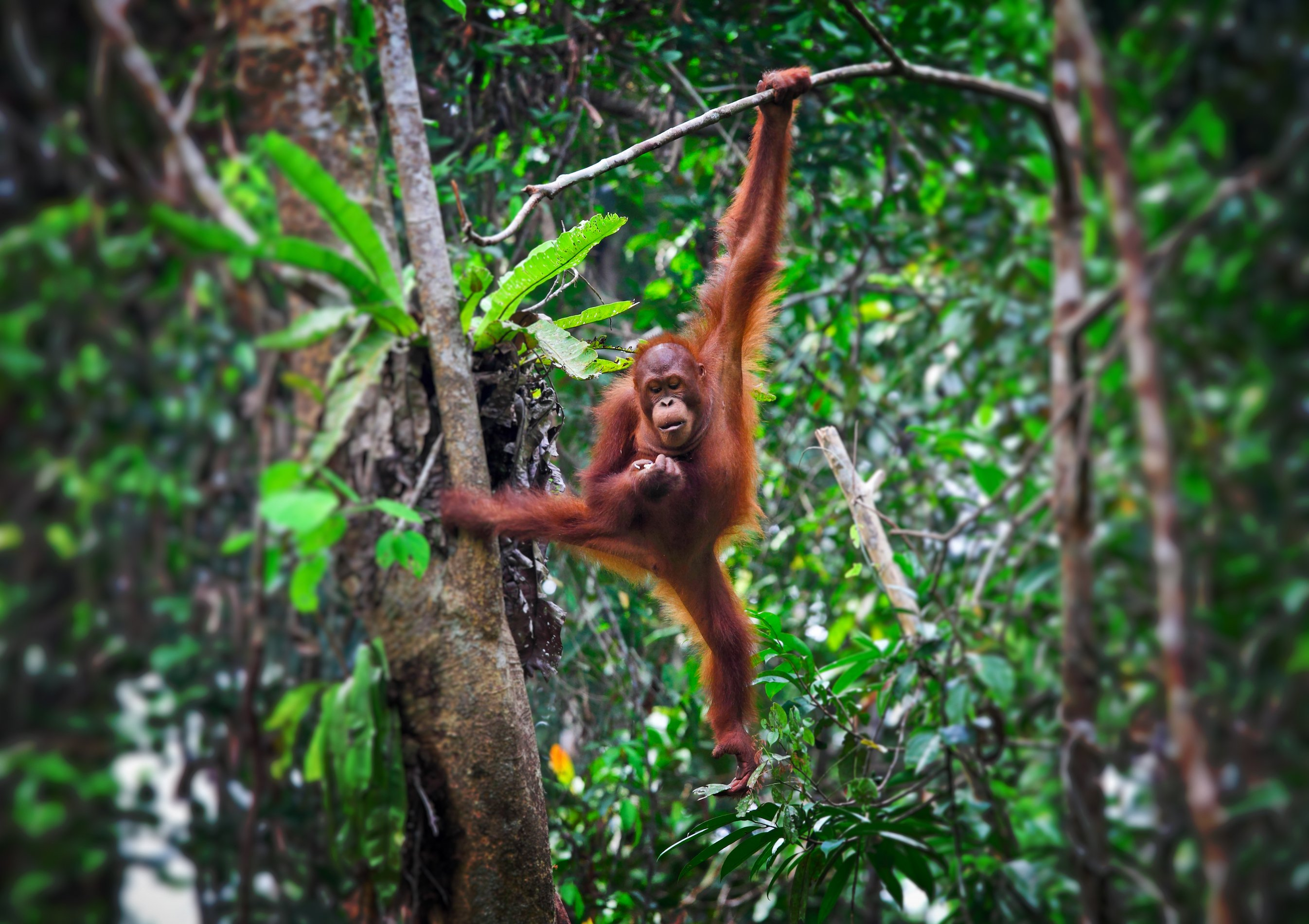 Orango nella foresta del Borneo