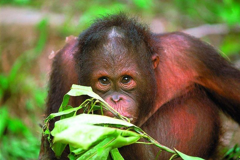 Un orango nella foresta pluviale del Borneo