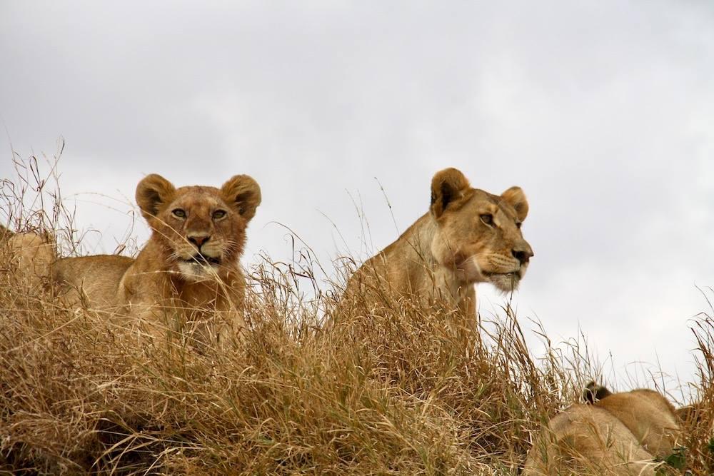 Gruppo di Leonesse al Serengeti