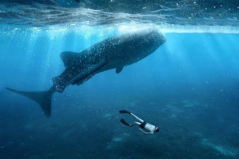 Turista che nuota con uno squalo balena a Oslob nelle Filippine