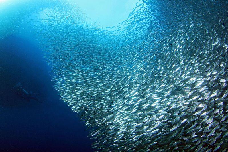 Assistere alla fuga delle sardine a Moalboal