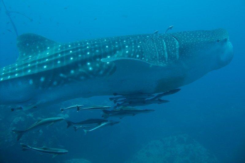 Squali balena avvistati a largo di Donsol nelle Filippine